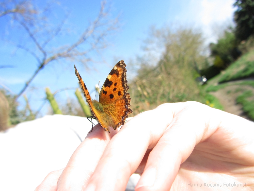 Schmetterling Großer Fuchs auf der Hand